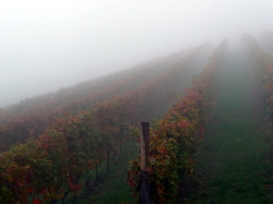 Early_morning_fog_in_Nebbiolo_vineyard