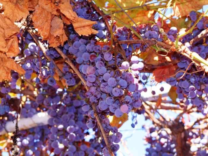 Concord_Grapes_on_vines