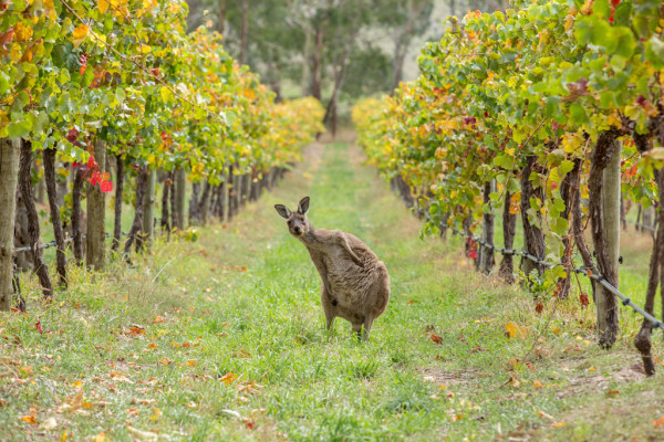 kangaroo-in-wine-field-Australia