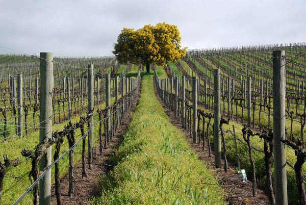 wpid-archey-vineyard-rows.jpg