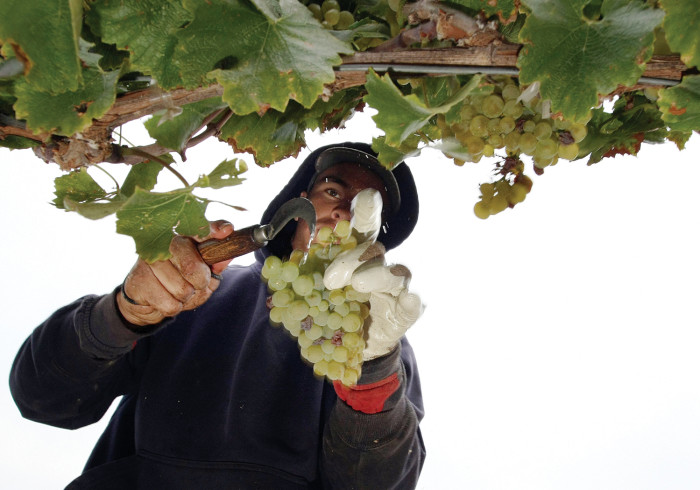 Napa Area Winery Harvests Its Grapes