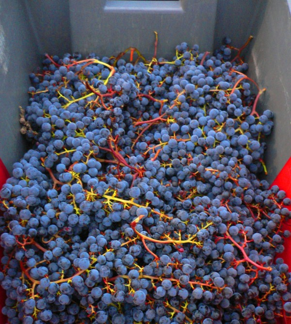 Malbec-Wine-Grapes