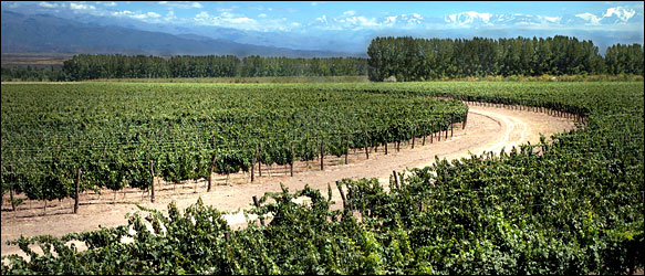 malbec_vineyard_in_argentina