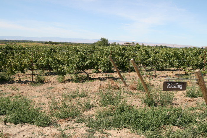 Riesling_vineyard_in_Rattlesnake_Hills